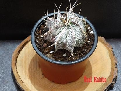 Resim Astrophytum ornatum var. mirabelii