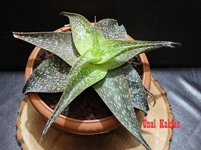 Resim Aloe ruffingiana