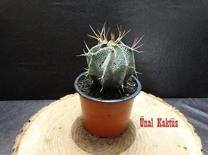 Resim Astrophytum capricorne var. niveum