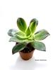 resm Aeonium Kiwi