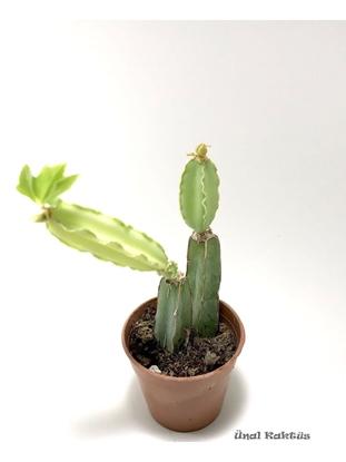 Resim Cissus quadrangularis