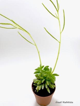 Resim Peperomia asperula