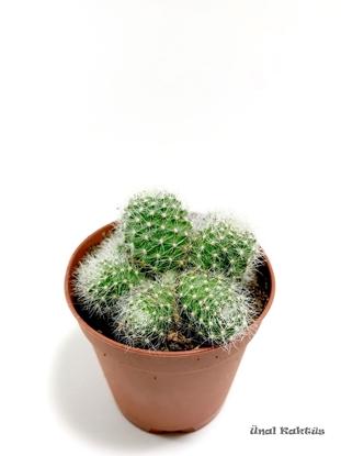 Resim Rebutia albiflora