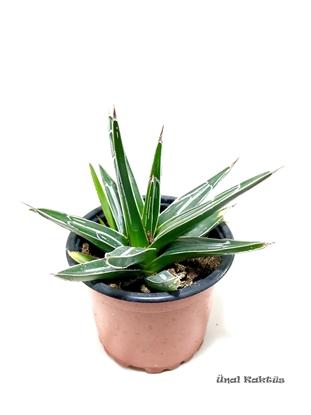 Resim Agave victoriae-reginae (8,5 cm)