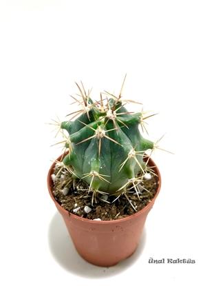 Resim Ferocactus emoryi