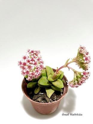 Resim Crassula Springtime