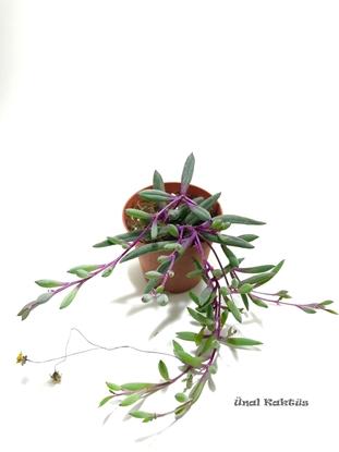 Resim Othonna capensis rubra