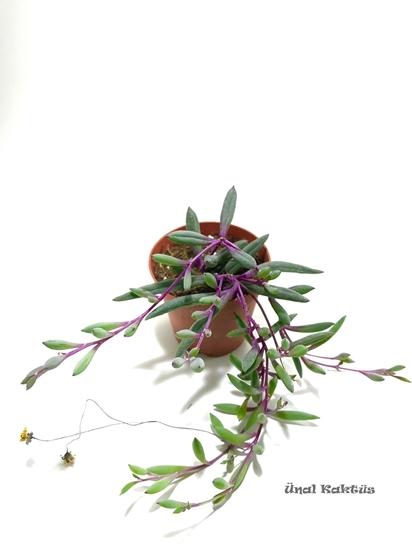 resm Othonna capensis rubra
