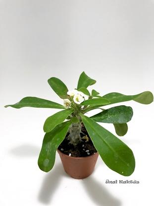Resim Euphorbia milii Lutea