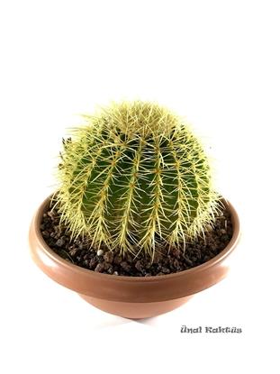 Resim Echinocactus grusonii