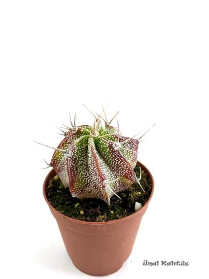 resm Astrophytum ornatum