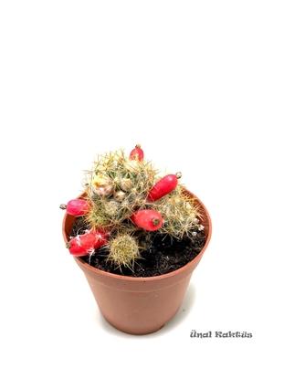 Resim Mammillaria prolifera