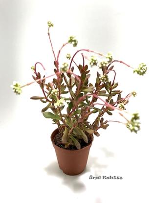 Resim Crassula pubescens radicans