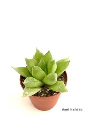 Resim Haworthia cymbiformis