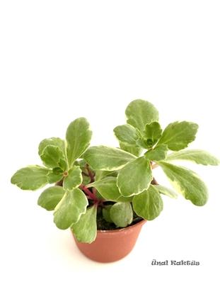 Resim Sedum kamtschaticum variegata