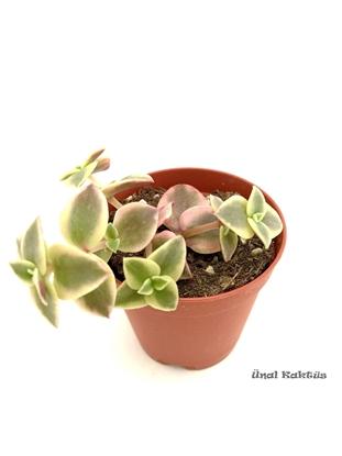 Resim Crassula pellucida marginalis variegata