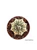 resm Astrophytum asterias Super Kabuto