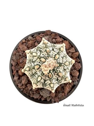 Resim Astrophytum asterias Super Kabuto (10,5 cm)