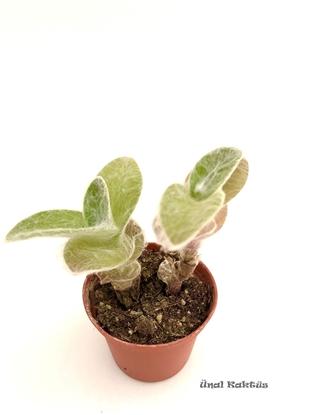 Resim Tradescantia sillamontana (5,5 cm)