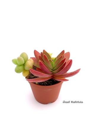 Resim Succulent mix (üçlü) 2