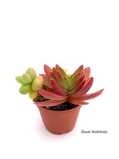 resm Succulent mix (üçlü) 2