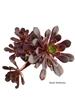 resm Aeonium arboreum var. atropurpureum (10,5 cm)