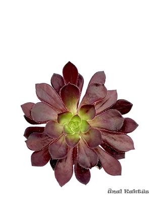 Resim Aeonium arboreum var. atropurpureum