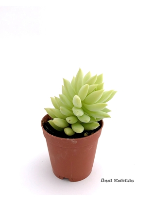 Resim Sedum morganianum (5,5 cm)