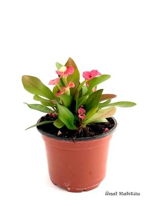 Resim Euphorbia milii (8,5 cm)