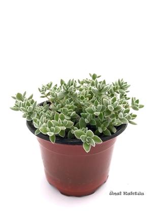 Resim Crassula lanuginosa (8,5 cm)