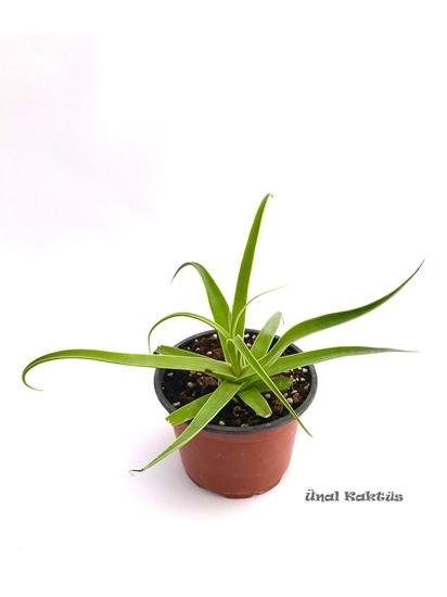 resm Agave bracteosa (8,5 cm)