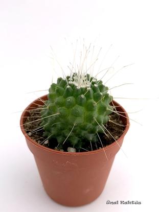 Resim Mammillaria spinosissima Un Pico