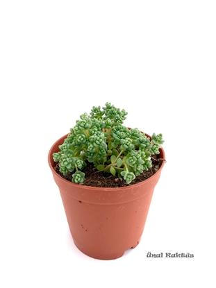 Resim Sedum dasyphyllum Minor
