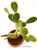 resm Opuntia microdasys (18 cm)