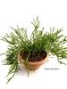 resm Crassula lycopodioides (C.muscosa) 18 cm