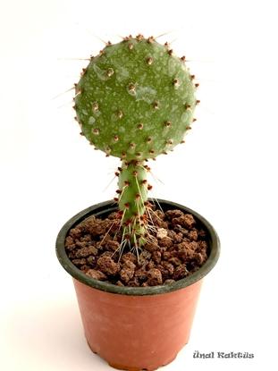Resim Opuntia santarita (8,5 cm)