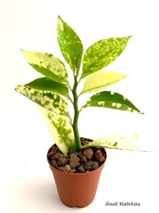Resim Pedilanthus tithymaloides variegata