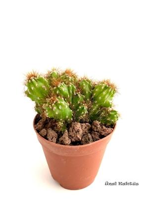 Resim Cereus peruvianus montrose
