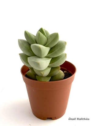 Resim Crassula Moonglow