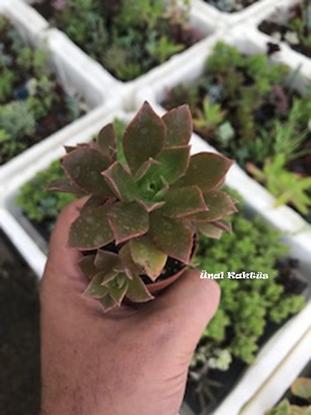 Resim Aeonium decorum