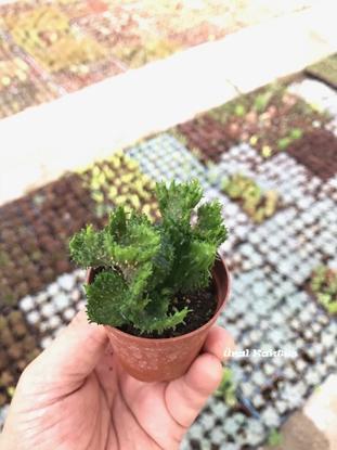 Resim Euphorbia flanaganii cristata