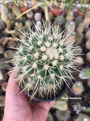 Resim Echinocactus grusonii (10,5 cm)
