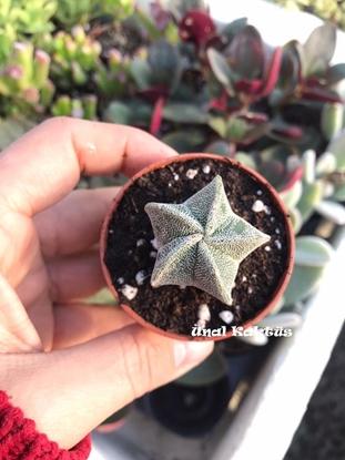 Resim Astrophytum myriostigma (5,5 cm)