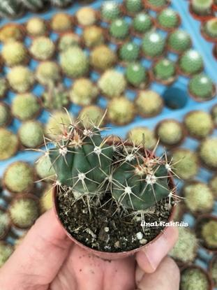 Resim Ferocactus horridus