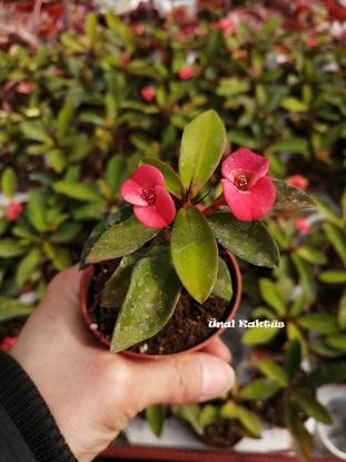 Resim Euphorbia milii