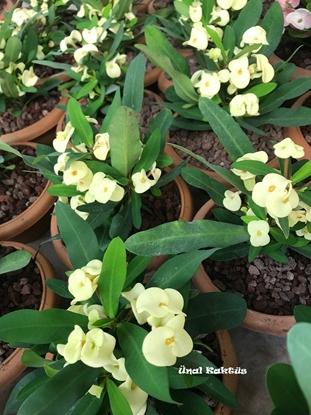 Resim Euphorbia milii (Sarı )